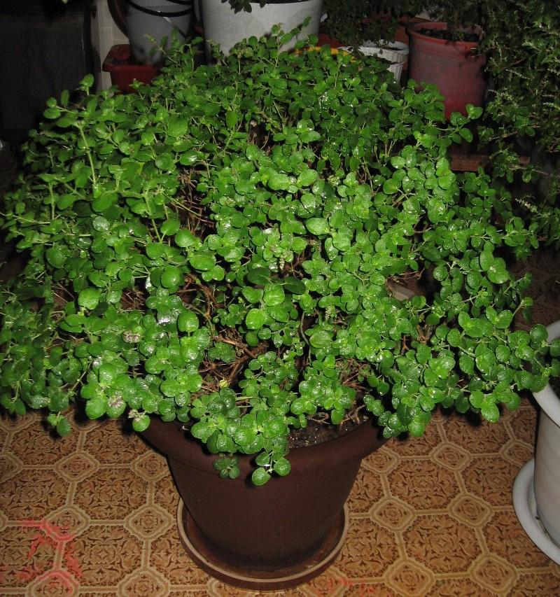 Выращивание дома туласи 23