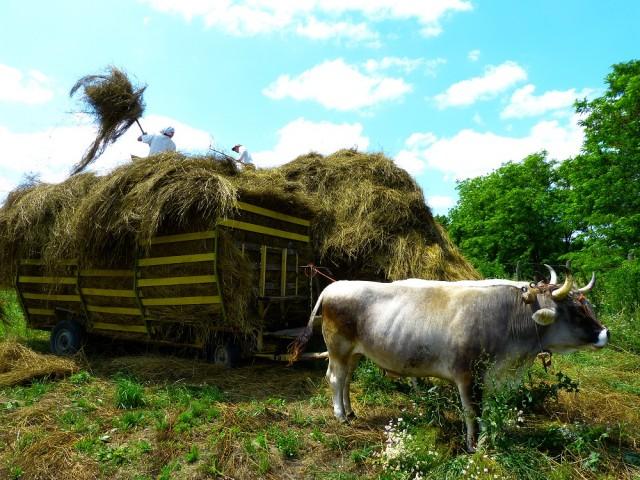 Здесь быки — полноценные члены общины
