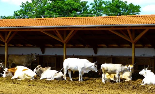 Коровник здесь — это пятизвёздочный отель для коров.
