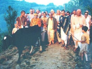 Srila Prabhupada meets Kaliya, New Vrindaban's original cow, on the path to the New Vrindaban farmhouse, 1972