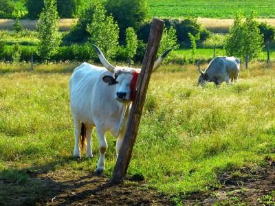 Венгерска корова